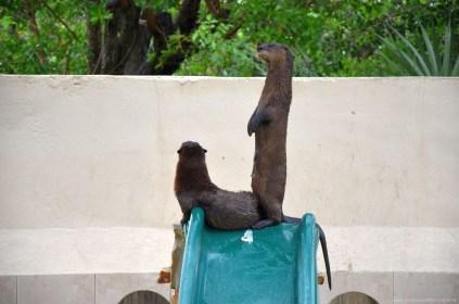 Otter bei Wooten's Everglades