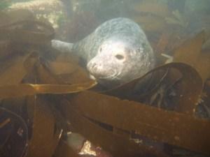 Seals in Farnes