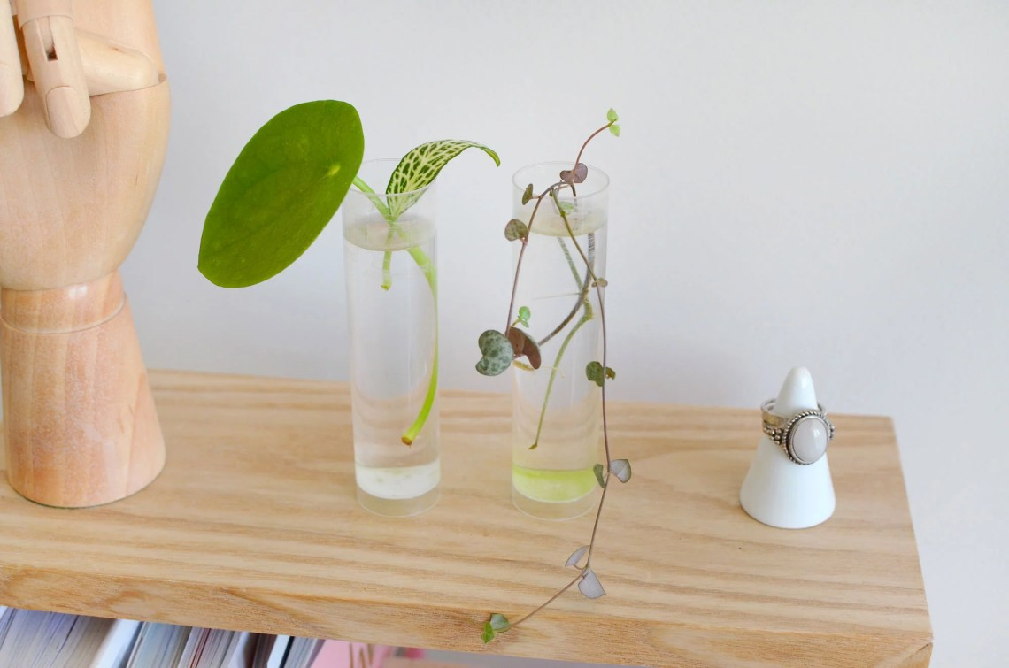 plante bouture pilea - Jungle home
