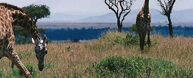 Giraffe in Maasai Mara game reserve