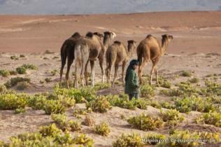 Um menino a tomar conta de uma cáfila de dromedários no deserto de Sahara em Marrocos