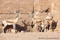 Gazelas selvagens no Deserto do Saara