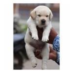 Labrador Retriever Puppies For Sale Gender Female