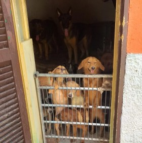 cani-meticci