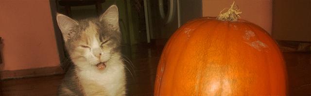 dynia hallowen kotek kot kicia słodki śmieszny