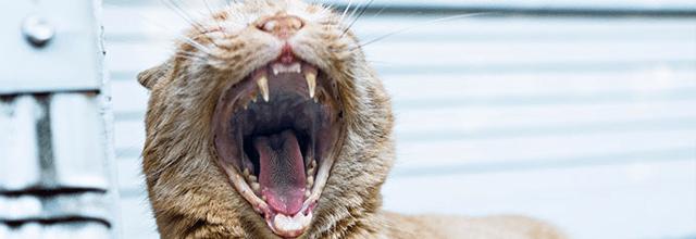 rudy kot kocur ziewa ziewający