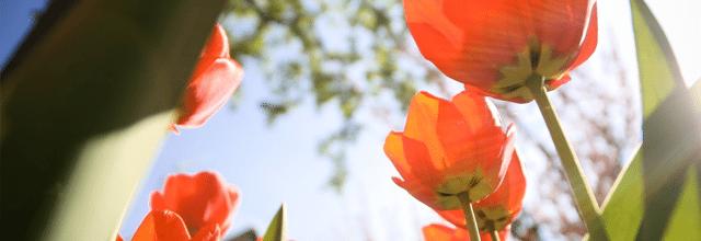 kwiaty kwiatki czerwone tulipany kwitnące wiosna