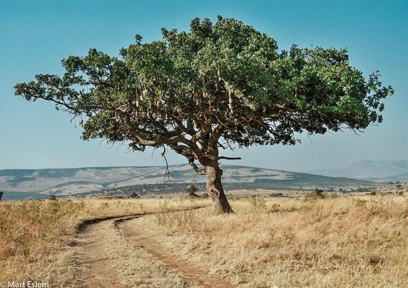 Afrika, Keňa, Masai, Mara, strom, salám [Mart Eslem]
