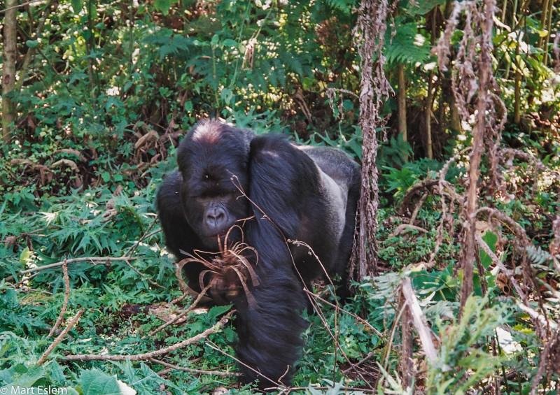 Afrika, Rwanda, gorila, stříbrohřbetý, samec, silverback, beringei [Mart Eslem]