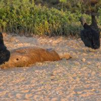 Mrchožrouti u zdechliny kapybary (Mart Eslem)