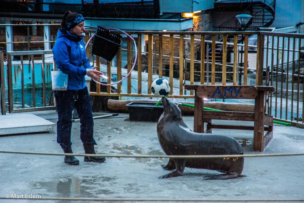 Lachtaní show v mořském akváriu v Bergenu (Mart Eslem)