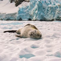 Tuleň leopardí (Mart Eslem)