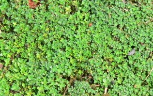 Pennyroyal is supposed to keep insects away, and it's supposed to be lucky to plant near your house, but be careful, because it will spread like a weed.