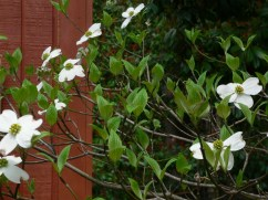 Flowers on a dogwood tree.