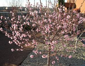 patio peach dwarf mandarin tree cold