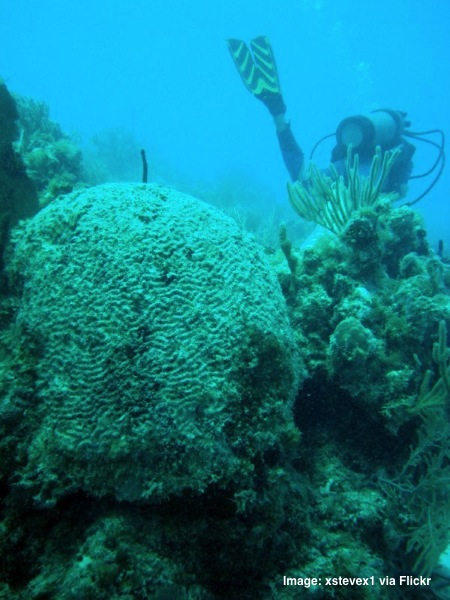 Brain coral Antigua diving
