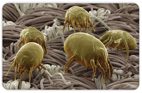 acari della polvere visti al microscopio