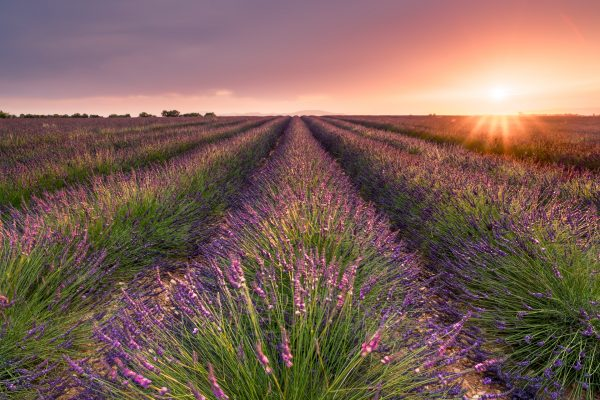 Lavender in Valensole and the Provence