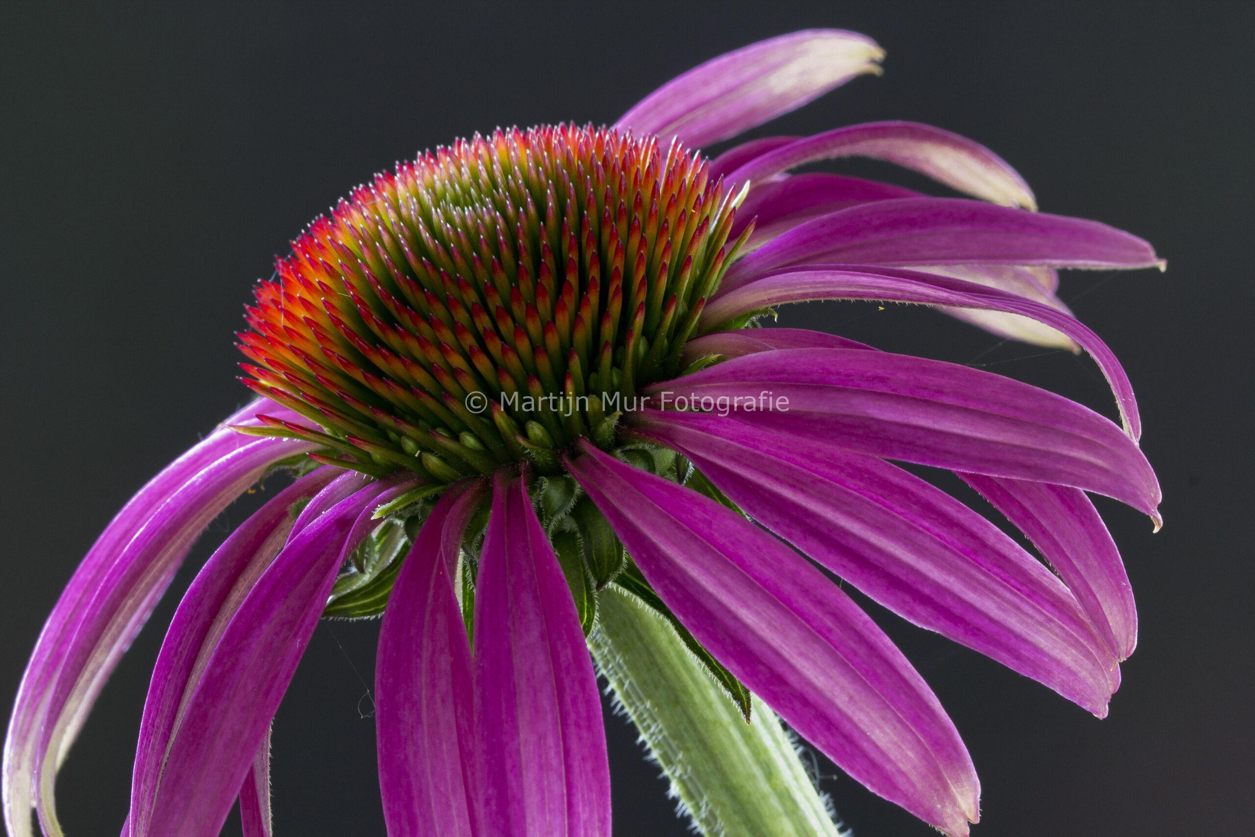 professionele fotografie, roze Echinacea Purpurea