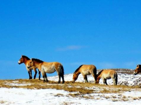 Wild Przewalksi Horses