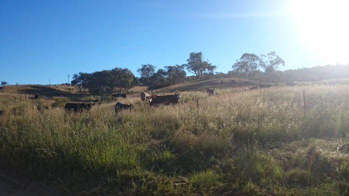 Cows in the paddocks