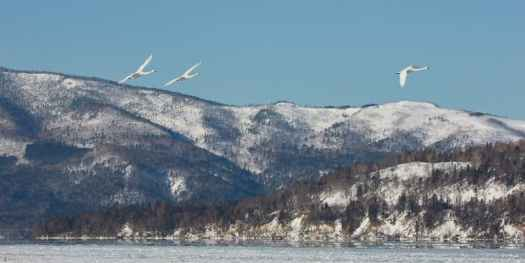 Swans and Mountains