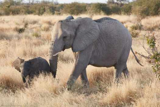 Baby and Mother Elephant in Long Grass