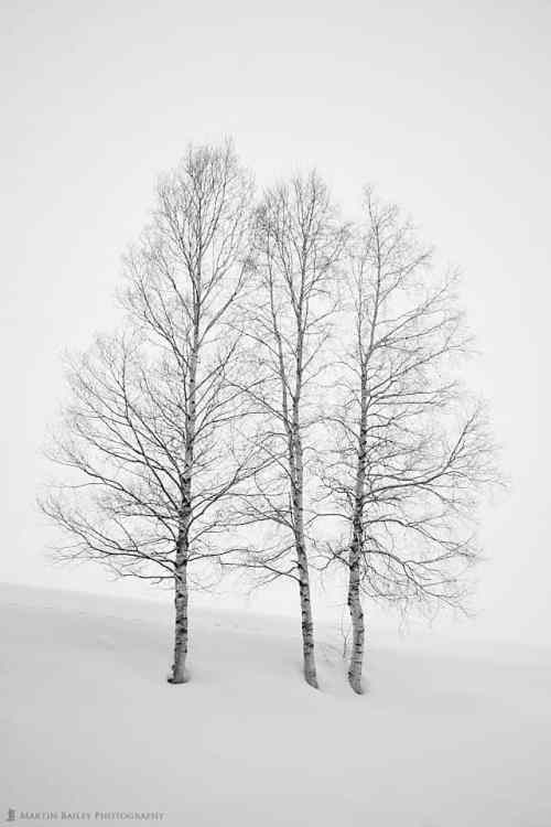 Three Birch Trees in Snow