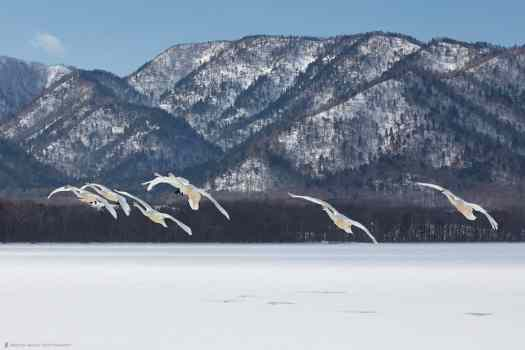 Whooper Swans and Mountains