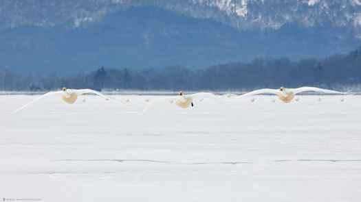 Fifteen Whooper Swans