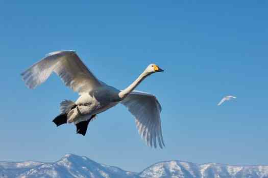 Intimate Swan Landing