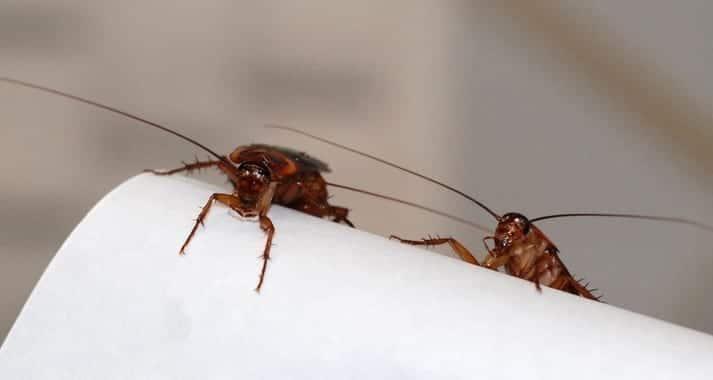 Los científicos proponen un nuevo método que consiste en reducir la reproducción de las cucarachas. / IBE (CSIC-UPF)