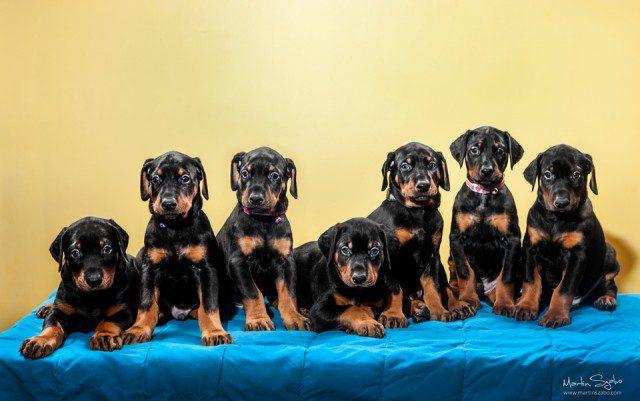 Pet-photographer-Vancouver-and-7-Doberman-puppies