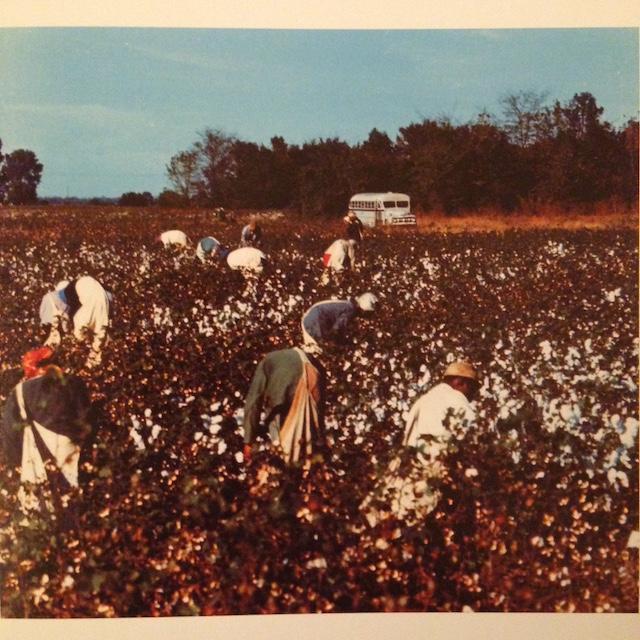 Picking cotton.