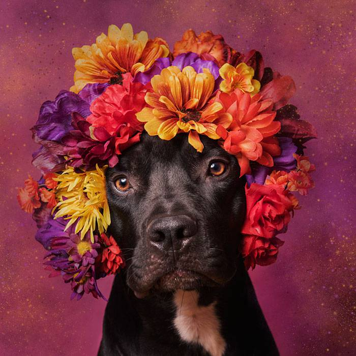 pit-bull-flower-power-adoption-sophie-gamand-69