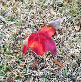 red brown leaf marvia davidson