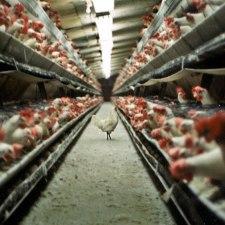 Corona Fried Chicken – Megaviren, Massentierhaltung und Millionenstädte