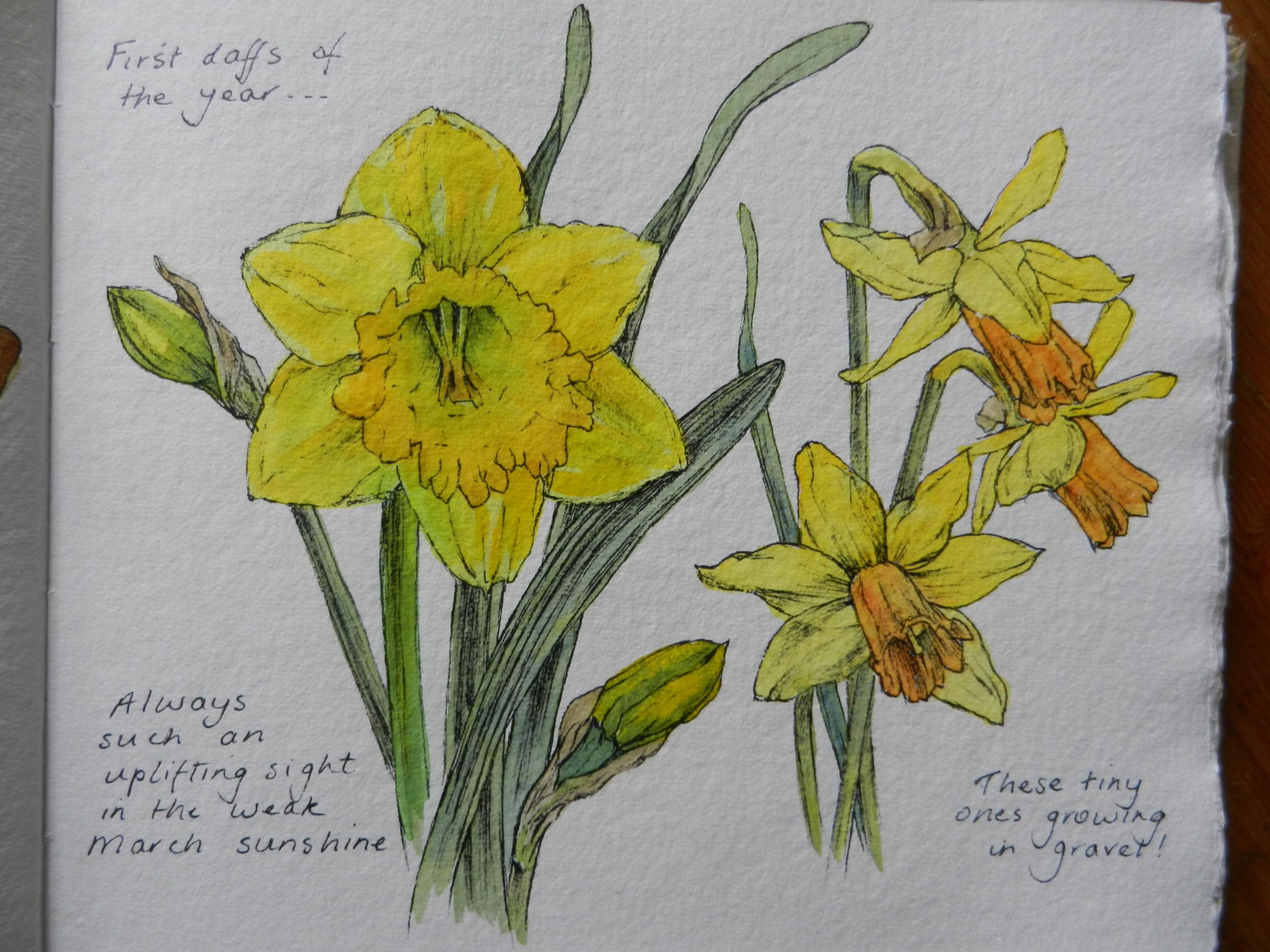 Daffodils watercolour sketch