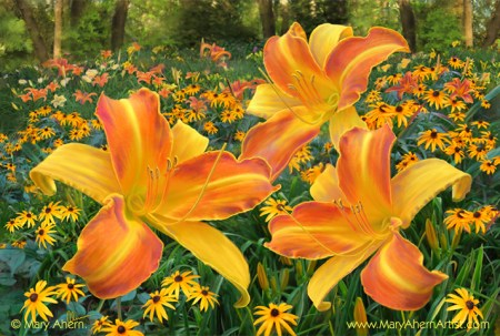 Frans Hals Daylilies with Rudbeckia