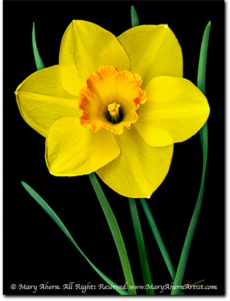 Yellow Daffodil by Mary Ahern the Artist