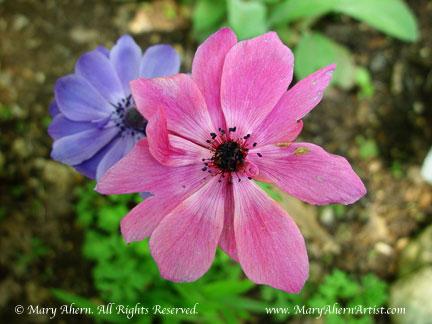 Anemone coronaria in the garden