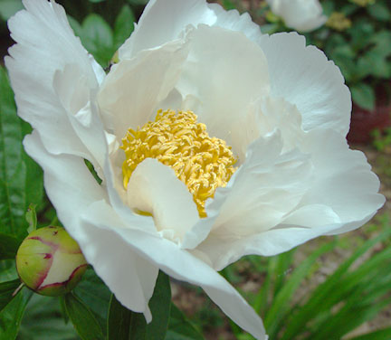 "A single white ""Krinkled Peony"" which grew in my garden this June."