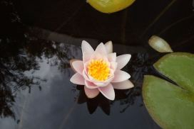 white lotus image links to Intuitive Arts page