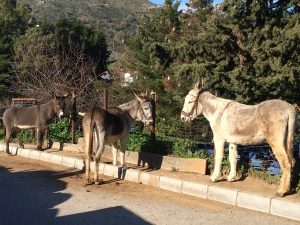 Burros outside the blacksmith's shop, Gaucin, January 2015