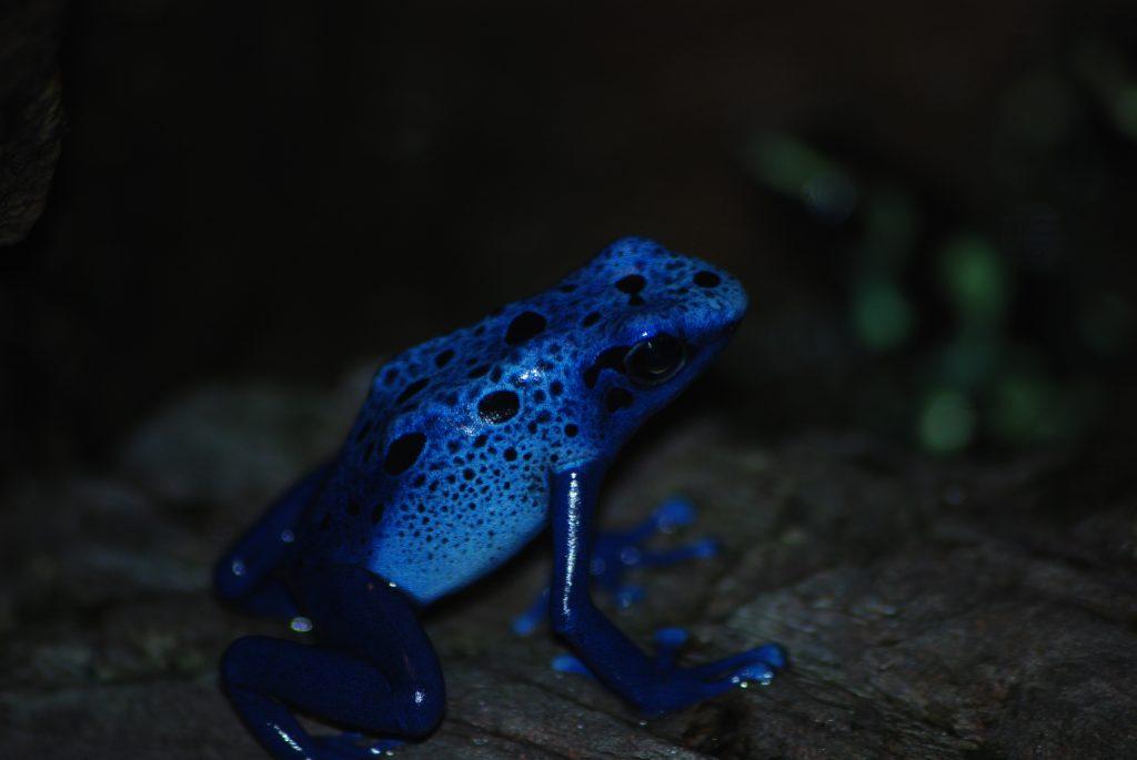 dartfrog