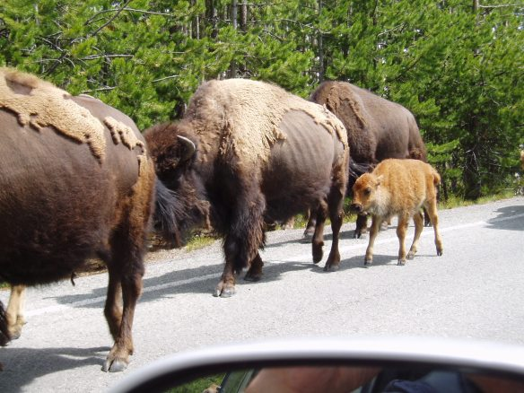 Eek! These bison are too close!