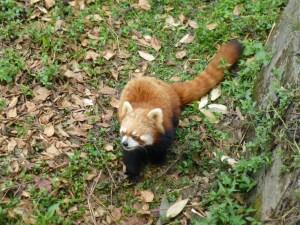 Lesser red panda is so cute