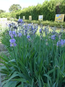 Irises in the hospital garden