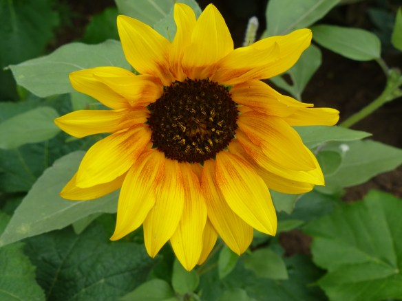 Sunflower at Boulder Mountain Lodge
