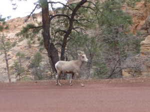 An exciting encounter with a wild mountain goat along the road